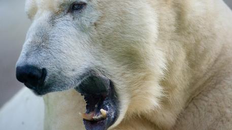 Белый медведь загрыз российского строителя на острове Земля Александры