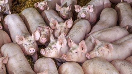 Украине предсказали дефицит свинины
