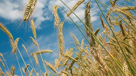 Турция сняла ограничения на ввоз пшеницы из России