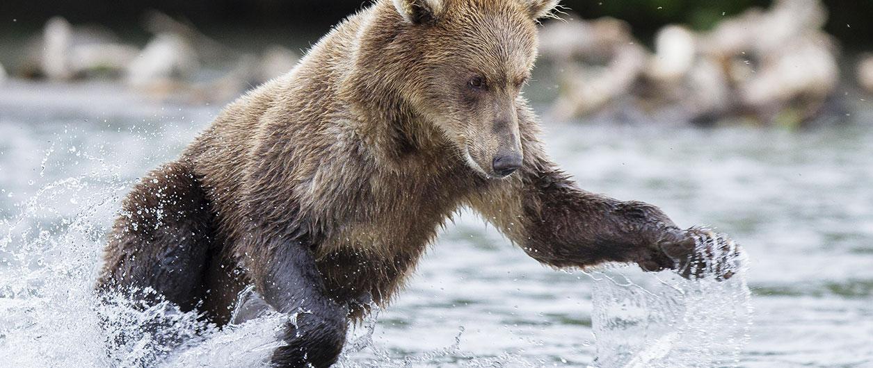 Самый сильный и страшный зверь: истоки и смысл «русского медведя»