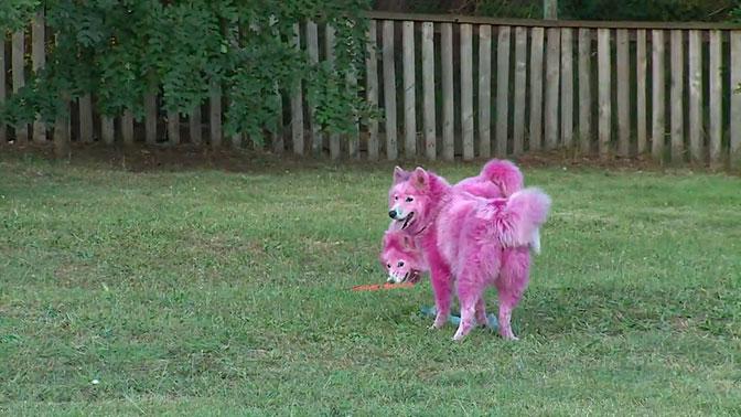 Окрашенных в розовый цвет самоедов отправят в питомник Минобороны