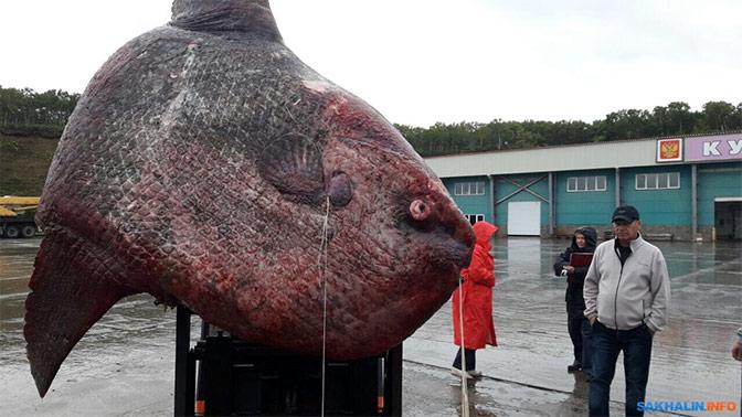 Рыбу-луну весом более 10 центнеров скормили медведям на Курилах