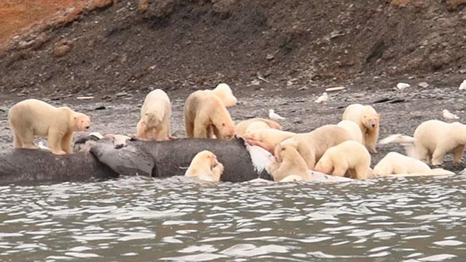 чукотка медведи едят кита фото военно-морских