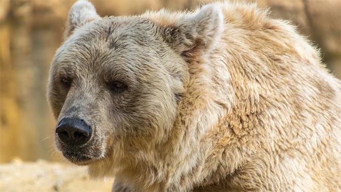 Медведь «отобрал» у охотника два ружья в иркутской тайге