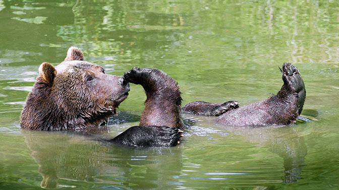 Английских фанатов предупредили о возможных нападениях голодных медведей в России