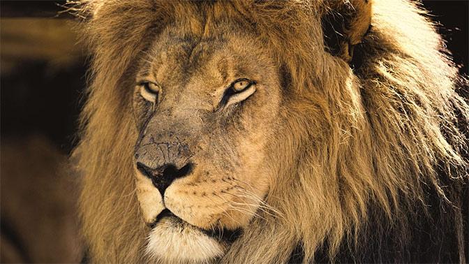 Зоопарк Копенгагена попросил горожан приносить своих питомцев на корм львам