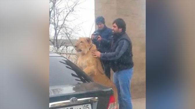 Мужчина выгулял льва поМахачкале: милиция проводит проверку