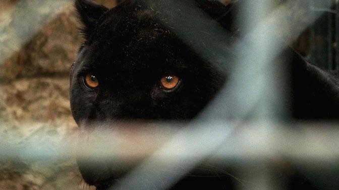 В Подмосковье пантера загрызла насмерть мужчину и сбежала на свободу