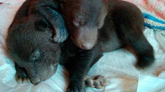 В столице корреспондент отыскал новорожденных медвежат вкоробке умусорки