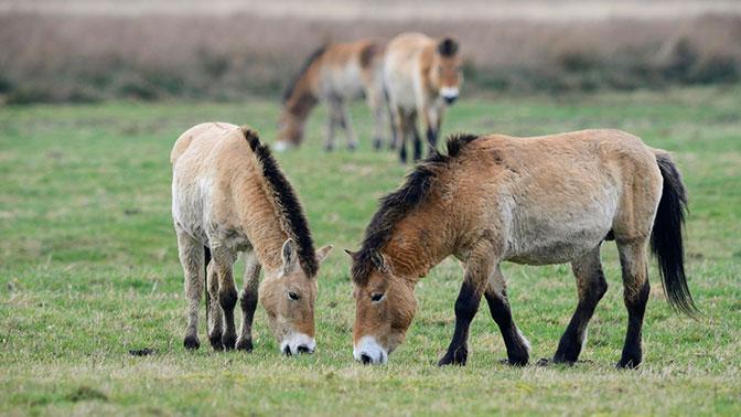 Ученые выяснили истинное происхождение лошади Пржевальского