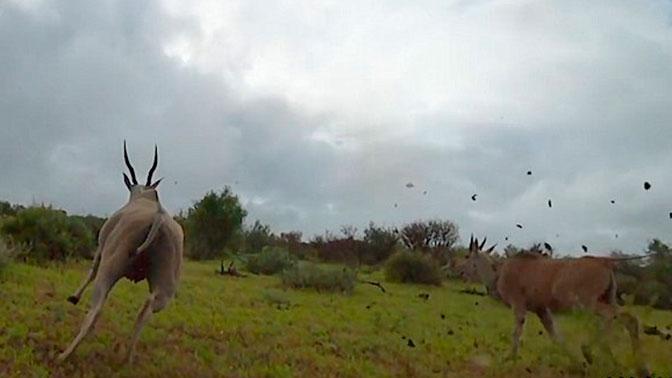 Опубликованы кадры охоты гепарда от первого лица