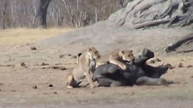 Туристы сняли на видео схватку львов со слоненком
