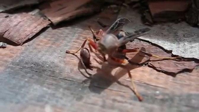 Обезглавленная оса взяла свою голову в лапки и улетела: видео