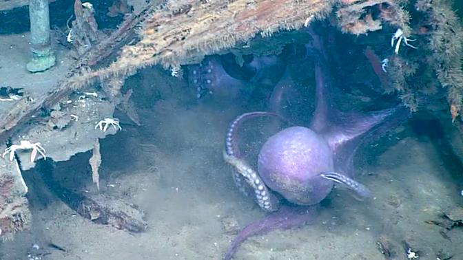 Схватка двух агрессивных осьминогов попала на видео
