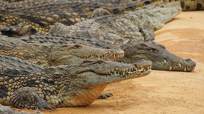 Крокодилов заставили слушать Баха