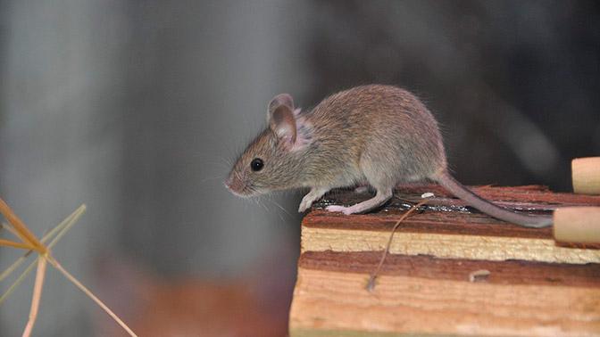 Жители Башкирии страдают из-за нашествия мышей