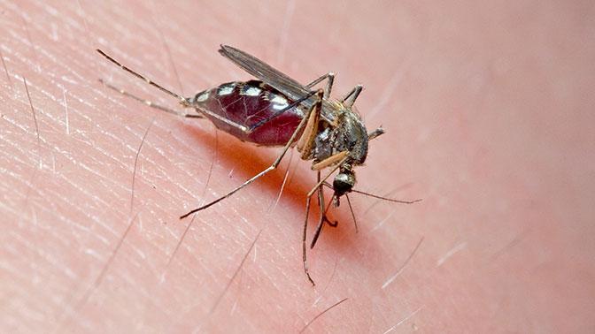 Ученые выяснили, как слюна комара влияет на иммунитет человека