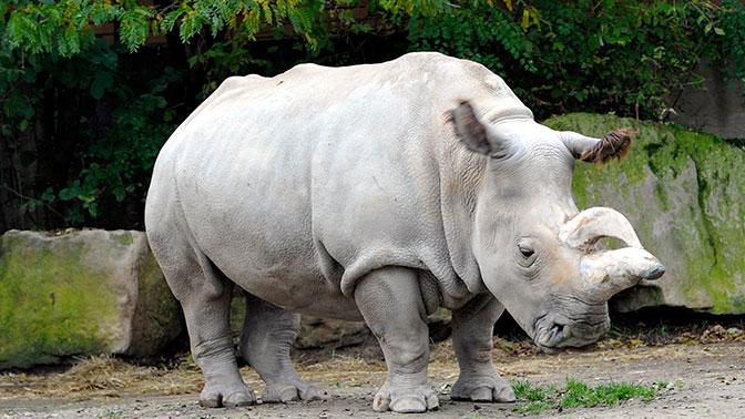 Image result for белый носорог