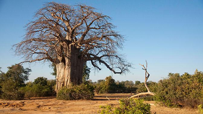 Старейшие баобабы Африки начали массово погибать