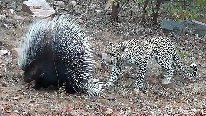Ожесточенный поединок леопарда и дикобраза попал на видео
