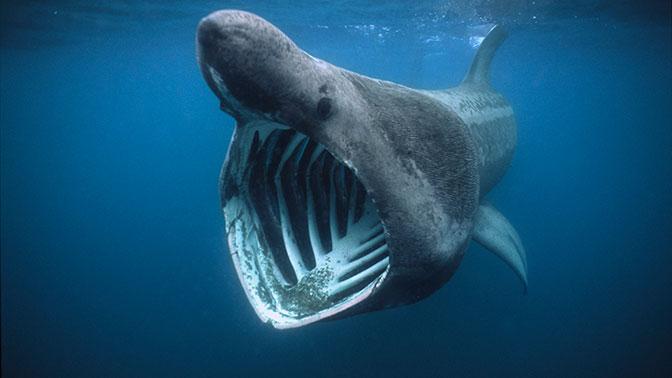 Огромную акулу-монстра обнаружили в Тихом океане