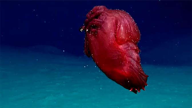Ученые сняли на видео странное морское существо «без головы»