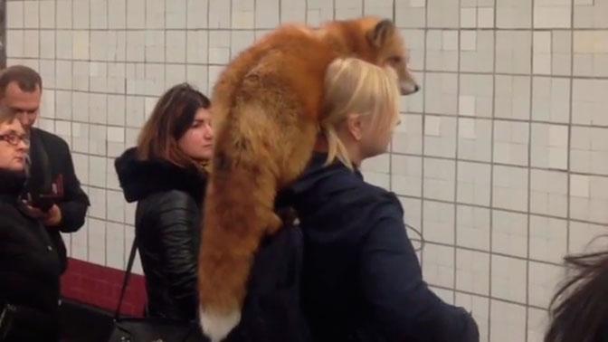 Живой воротник: москвичку с лисой на плече заметили в метро