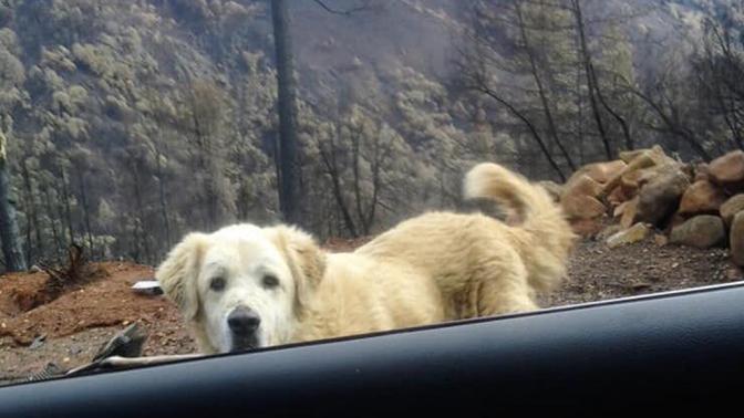 «Как будто охранял»: пес почти месяц ждал хозяев возле сгоревшего дома в Калифорнии