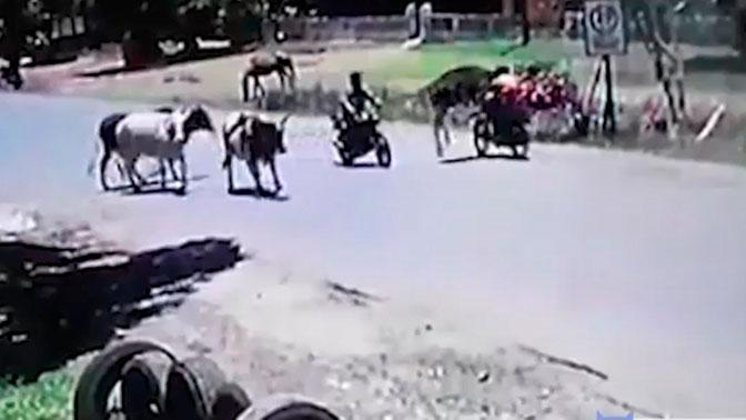 Кунг-фу корова задними копытами сбросила байкера с мотоцикла: видео