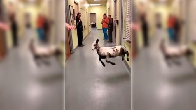 Зажигательные танцы ягненка и ветеринара попали на видео