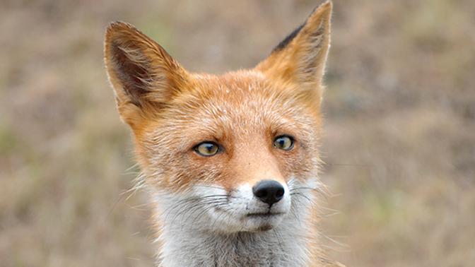 Мигрируют из-за изменений климата: в Москве происходит нашествие диких лис