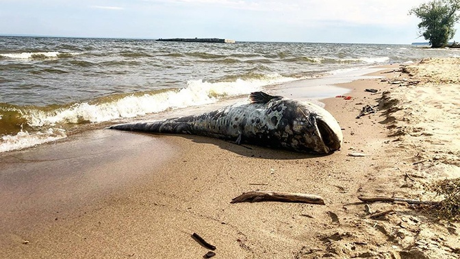 Монструозный улов: на берегу Волги нашли сома-гиганта