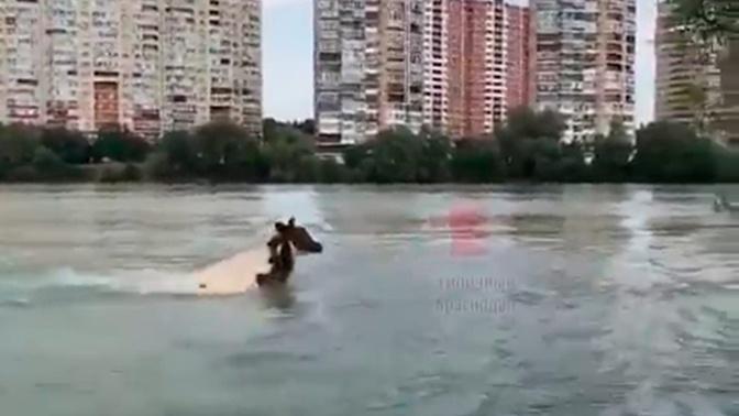 В реке в Краснодаре сняли на видео «корову-дельфина»