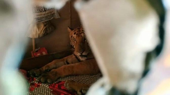 Тигр залез в дом к индийцу и спрятался в его постели