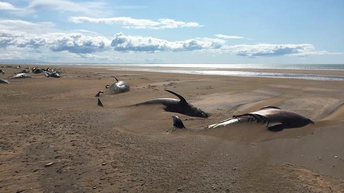 На побережье в Исландии обнаружили десятки мертвых китов