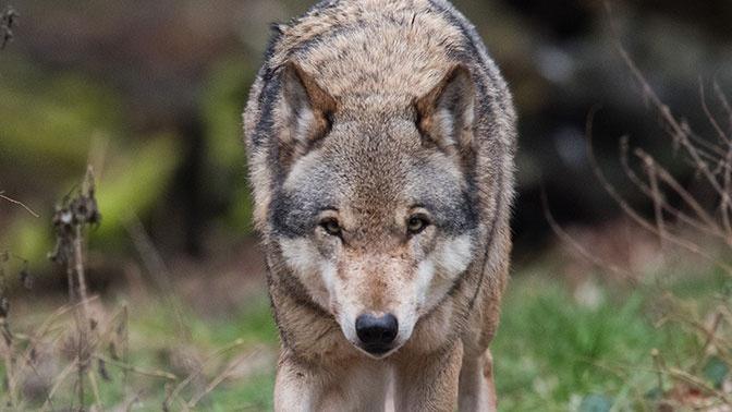 И укусит за бочок: волк напал на спящую в палатке семью