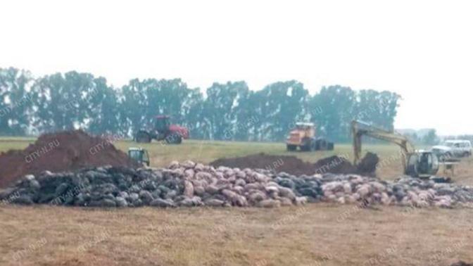 Пять тысяч свиней задохнулись на ферме в Новокузнецке