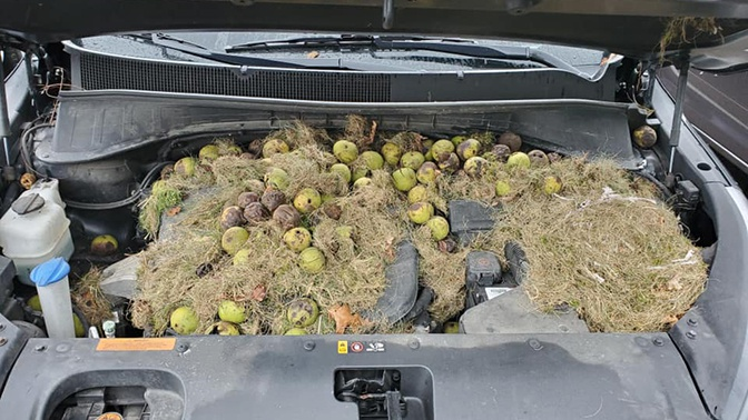 Экологичный транспорт: в США белка превратила автомобиль в гнездо