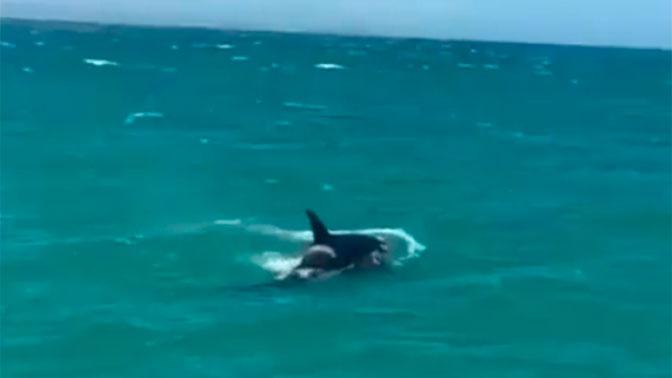 Опубликовано видео охоты косаток на белую акулу