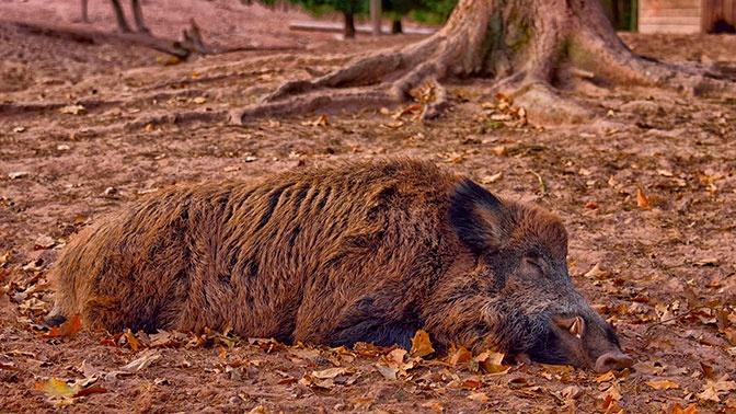 Подложили свинью: дикие кабаны разорили тайник с кокаином на 20 тысяч евро