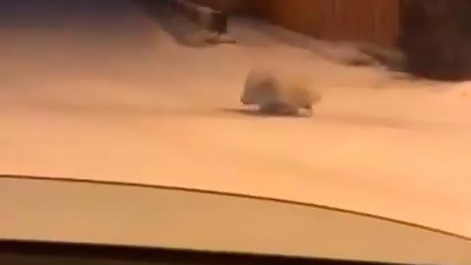На заснеженной улице в Иркутске нашли дикобраза: видео