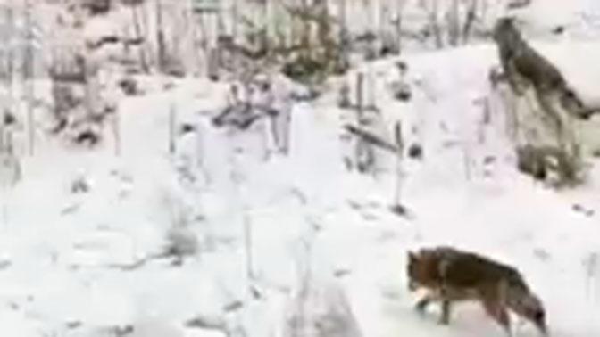 Звериное чутье: стая волков устроила погоню за авто на трассе в Татарстане