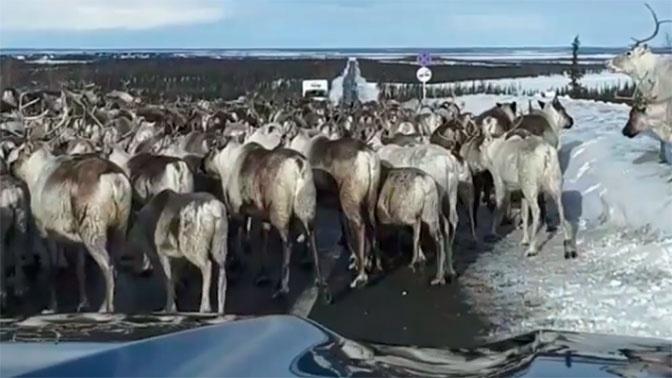 Олени на дороге: автомобилисты на Ямале не поделили проезжую часть с животными