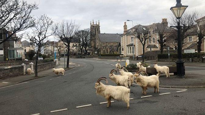 Скотный двор: опустевший из-за коронавируса город в Уэльсе захватили козлы