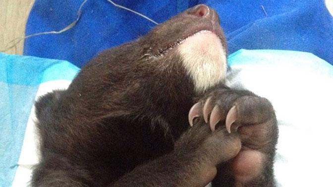 Кдверям охотнадзора вПриморье подбросили гималайского медвежонка